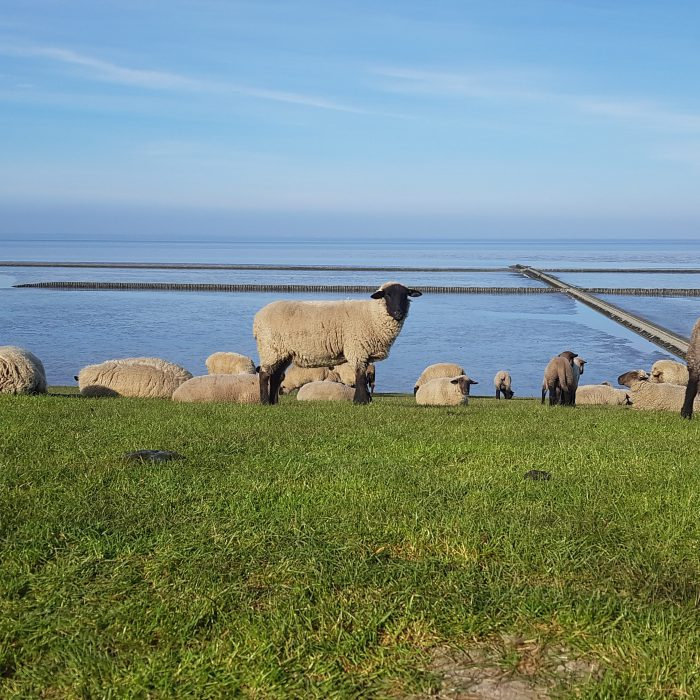 Schafe am Deich Nordsee